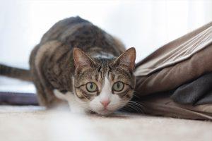 獲物を狙う猫(よしお)