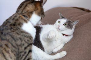 突然喧嘩がはじまる(猫)