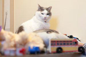おもちゃを前にしても冷静な猫