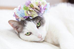 あじさいの花冠と猫