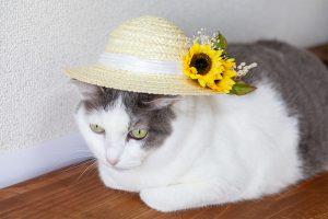 ひまわりの麦わら帽子と猫