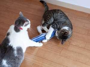 秋刀魚の蹴りぐるみを奪い合う猫