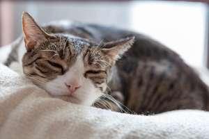 ねこじゃすりで眠くなる猫