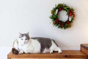 クリスマス準備万端(猫)