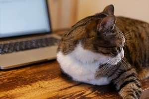 パソコンの前で寝る猫