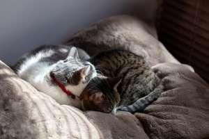 布団で丸まる猫たち