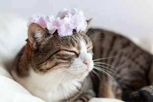 桜(花冠)と猫