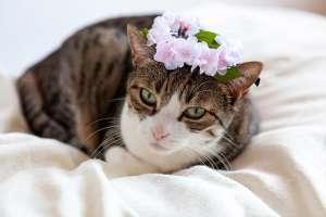 桜冠をつける猫