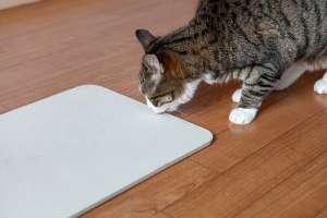 珪藻土のマットを舐める猫